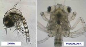ucides larvas